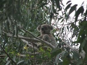 The koala: a little known motivational tool