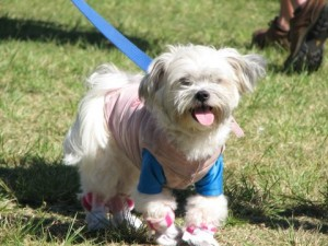 Controversial Dog in Booties