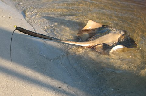 Hooked Sting Ray in the Noosa Waterways