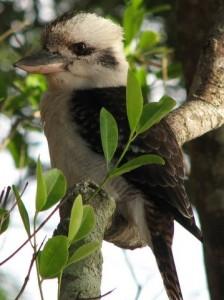 Kookaburra in Noosa National Park