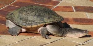 Unrelated Image of Native Australian Long-Necked Turtle