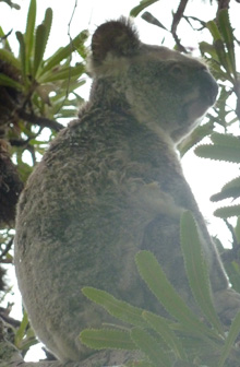 Noosa, Australa koala