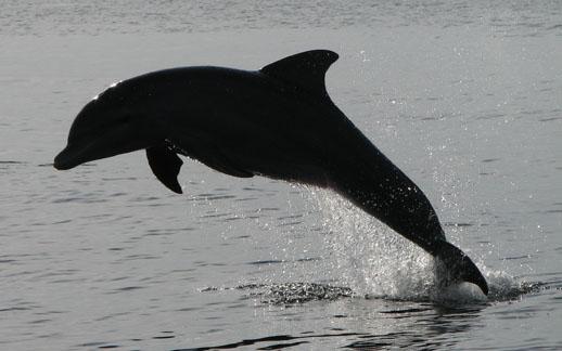 Bocas del Toro dolphin