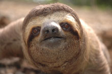 real costa rica sloth