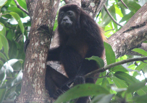 see the real costa rica monkey