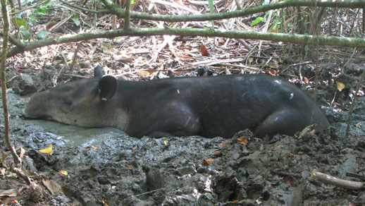 tapir in the osa peninsula, costa rica