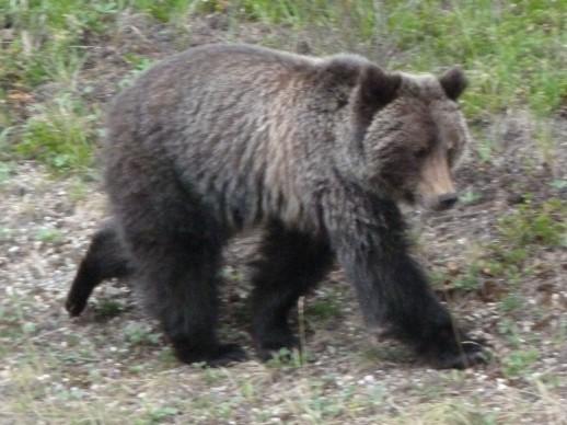 bear spotting, canada, Banff national park