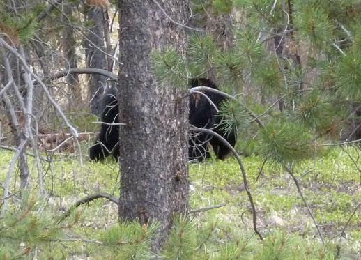 Bear spotting, Banff National Park, Alberta, Canada