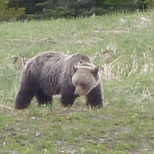 Bear spotting in Canada
