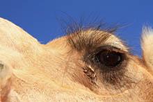 camel tour uluru sunrise