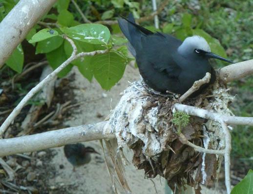 Heron island birds black-noddy-tern-nest