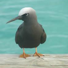 Heron Island bird spotting, Queensland, Great Barrier Reef