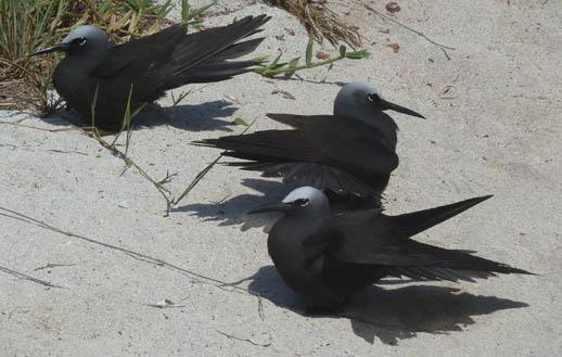 heron island birds black-noddy-tern-sun