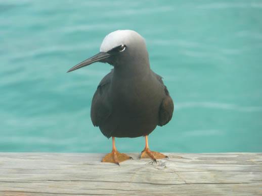 Black noddy term of heron island