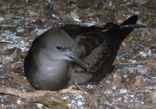 heron island shearwater or mutton bird