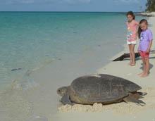 Heron Island turtle nesting