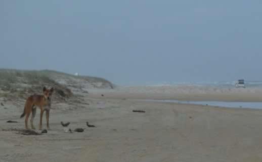 fraser-island-dingo-photo