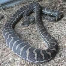 carpet-python-guinea-pig