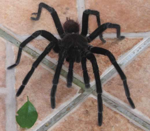 Travel Confession: I Fell in Love With a Cricket - Costa Rica tarantula image