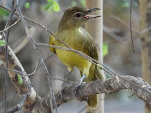 Yellow-bellied Greenbul kanga camp small