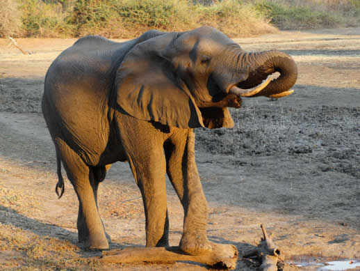 elephant drinking kanga camp small