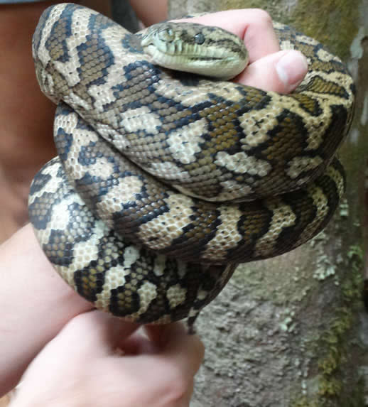fraser island carpet python