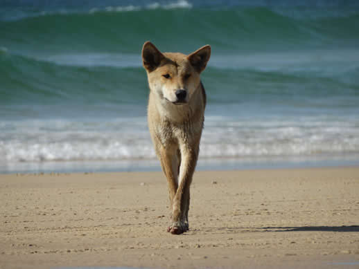 fraser island dingo 518