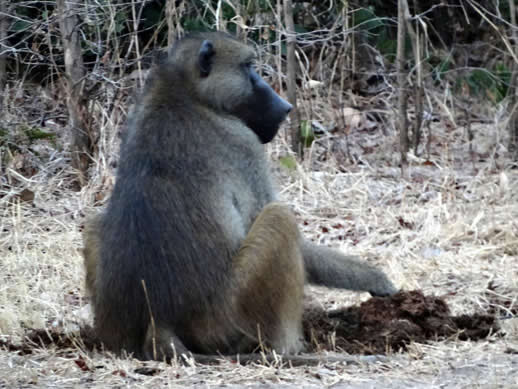 kanga camp concession baboon eating elephant dung small