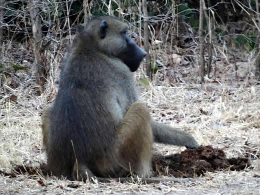 kanga camp concession baboon eating elephant dung small