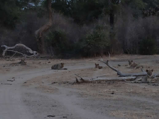 kanga camp concession lion pride small
