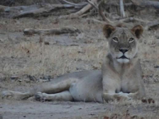kanga camp concession lion small