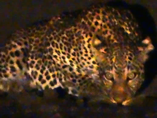 leopard kanga camp small