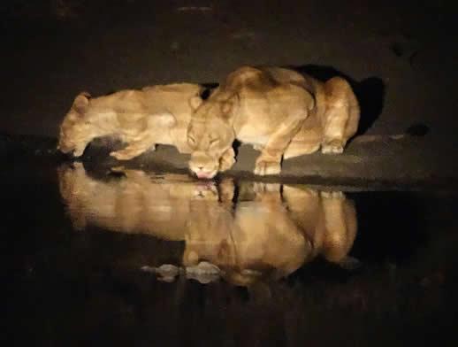 lion-mana-pools-night