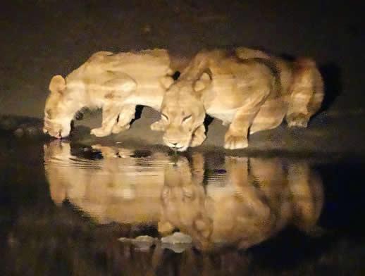 lion-mana-pools-night2