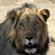 I Love Lions! Zimbabwe Travel Photo Story from Mana Pools