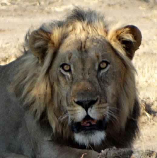 Lion in Mana Pools