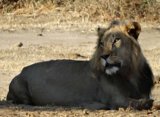 lion-mana-pools5