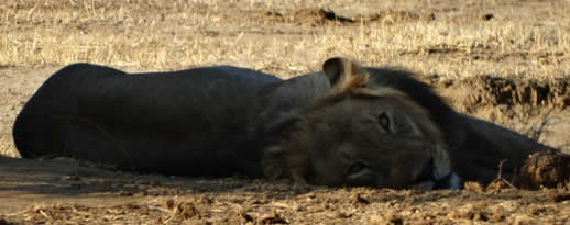 lion-mana-pools6