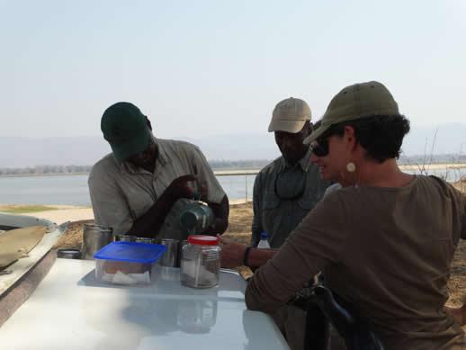tea zambezi