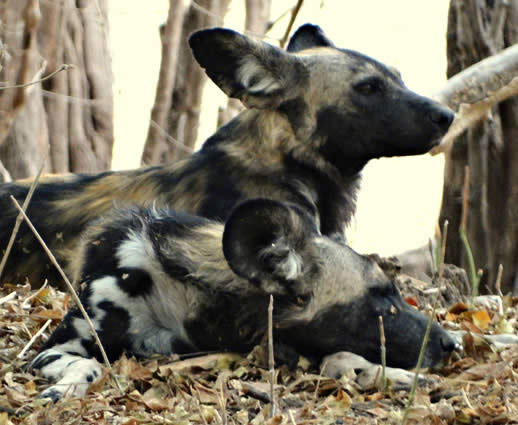 painted dog 10