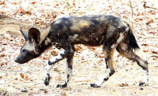painted dog 11