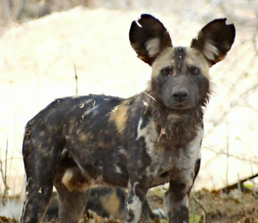 Painted dogs, Mana Pools, Zimbabwe, Africa
