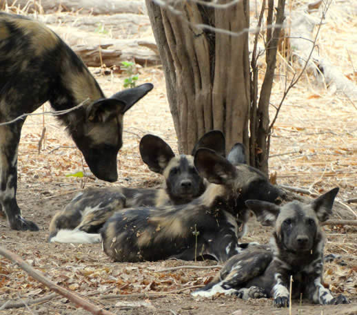 painted dog 8