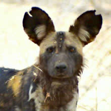 Painted Dogs of Mana Pools, Zimbabwe