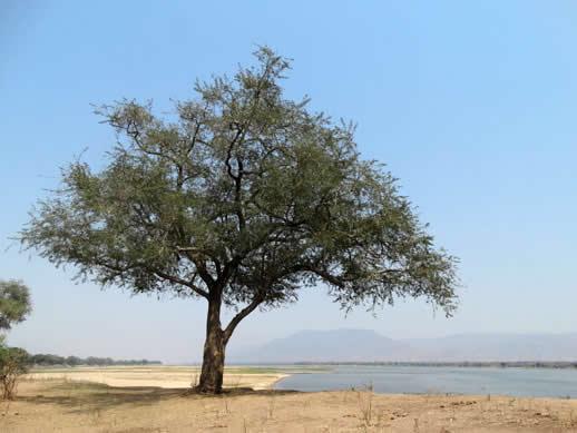 zambezi tree
