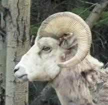 Bighorn sheep travel photo taken in Banff, Canada