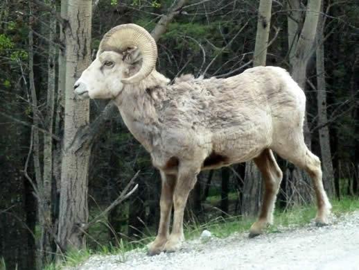 Banff big horn sheep