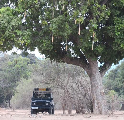 safari truck under sausage tree