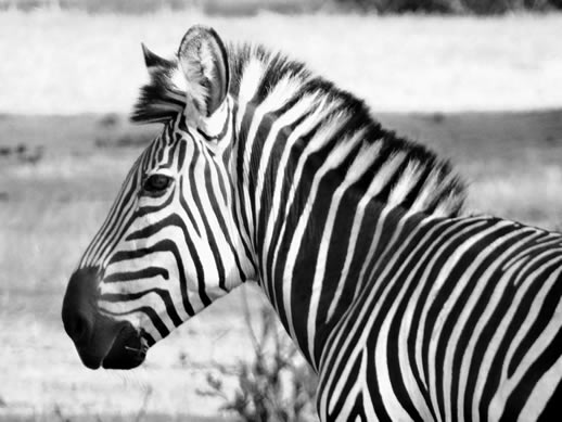 Zebra photo, Zimbabwe