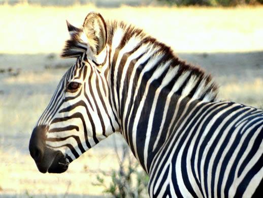 zebra-color